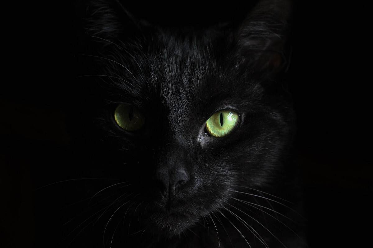 close up of a black cat face against a black background