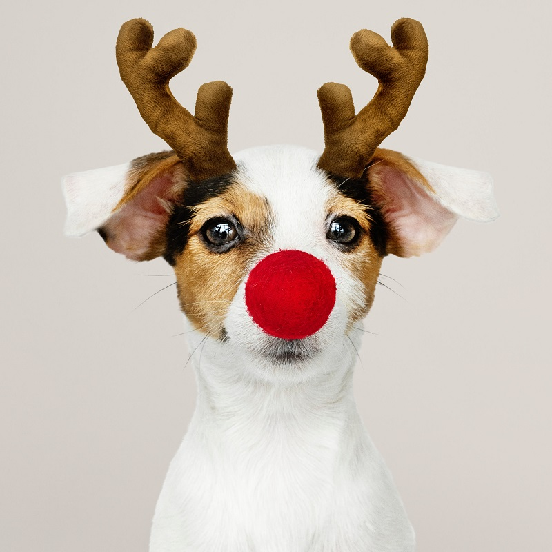 dog with fake reindeer antlers and a rudolph nose